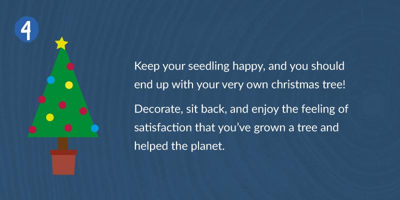 spruce tree seeds